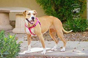 American Bulldog Mix Dog for adoption in Chandler, Arizona - ROXY 4