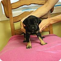 Adopt A Pet :: Dawn - Brattleboro, VT