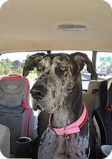 Great Dane Mix Dog for adoption in Jupiter, Florida - Daisy