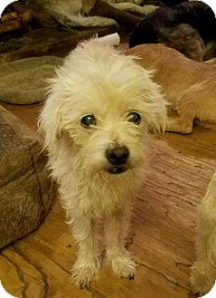 Maltese Mix Dog for adoption in Lithia, Florida - HUNTER -16 Lithia Fl  FOSTER OR ADOPT