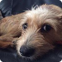 Adopt A Pet :: Joy - Danbury, CT