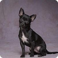 Adopt A Pet :: Perrito - League City, TX