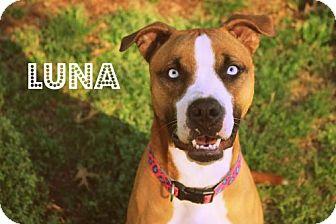 Boxer Mix Dog for adoption in Mocksville, North Carolina - Luna