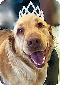 Golden Retriever Mix Dog for adoption in BIRMINGHAM, Alabama - Duchess