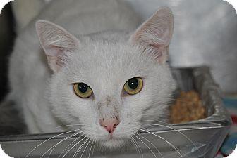 Domestic Shorthair Cat for adoption in Windsor, Virginia - Mr. Man
