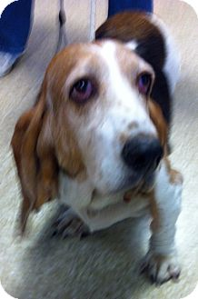 Basset Hound Mix Dog for adoption in Loudonville, New York - Thelma
