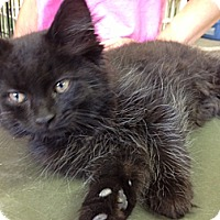 Adopt A Pet :: Kuro Necko - Byron Center, MI