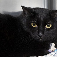 Domestic Shorthair Cat for adoption in Lombard, Illinois - Susan Storm