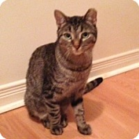 Domestic Shorthair Cat for adoption in Toronto, Ontario - Danny