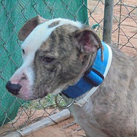 American Pit Bull Terrier Dog for adoption in Anton, Texas - Auggie