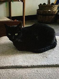 Domestic Shorthair Cat for adoption in Burnham, Pennsylvania - Magic