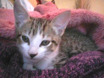 Domestic Shorthair Cat for adoption in Satellite Beach, Florida - Keeto