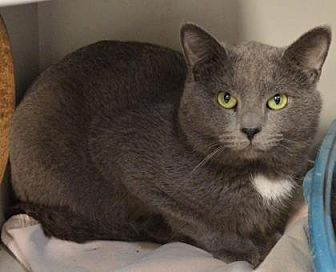 Domestic Shorthair Cat for adoption in Ashtabula, Ohio - Blueboy