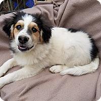 Adopt A Pet :: Iggy - Burlington, VT