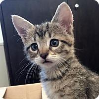 Adopt A Pet :: Augustus 2 - Austin, TX