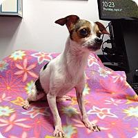 Adopt A Pet :: Precious - Fremont, CA