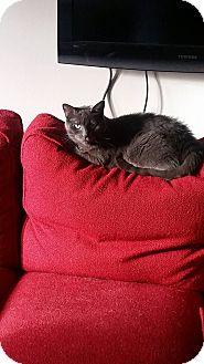 Domestic Shorthair Cat for adoption in Cambridge, Ontario - Nemo