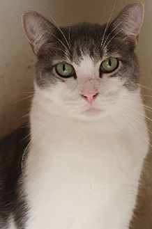 Domestic Shorthair Cat for adoption in Savannah, Missouri - Daniel