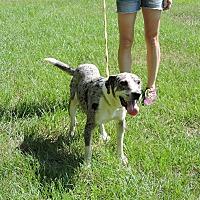 Catahoula Leopard Dog Mix Dog for adoption in Washington, Georgia - Jack
