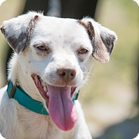 Fox Terrier (Smooth) Mix Dog for adoption in Irvine, California - Alex