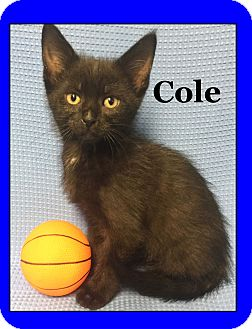 Domestic Shorthair Kitten for adoption in Cuba, Missouri - Cole
