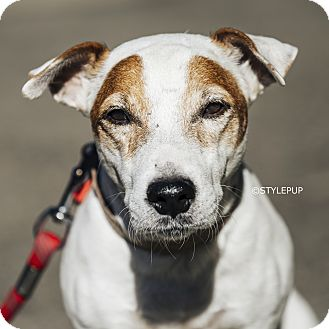 Jack Russell Terrier Mix Dog for adoption in New York, New York - Bo