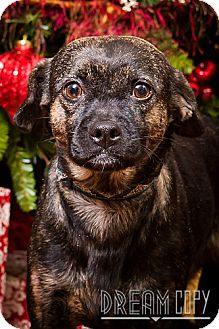 Pug/Boston Terrier Mix Dog for adoption in Owensboro, Kentucky - Lil Debbie - DRD program