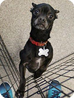 Chihuahua/Pug Mix Dog for adoption in Kennesaw, Georgia - Croft