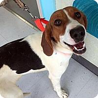 Adopt A Pet :: Paisley-URGENT - Providence, RI