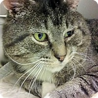 Adopt A Pet :: Tabby - Lunenburg, MA