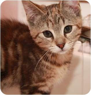 Domestic Shorthair Kitten for adoption in Okotoks, Alberta - Boo