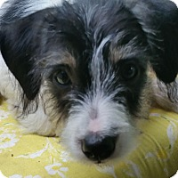 Adopt A Pet :: Puppy Hoagie In Houston - Houston, TX