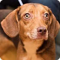 Adopt A Pet :: Jessie - Minneapolis, MN