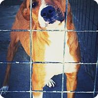Adopt A Pet :: Nola - Odessa, TX