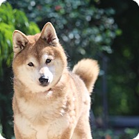 Adopt A Pet :: Goku - Manassas, VA