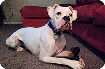 Boxer Dog for adoption in Boise, Idaho - Noah