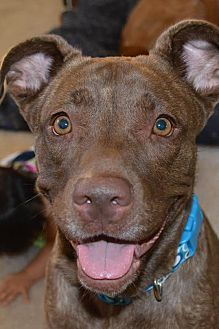 Labrador Retriever/Shar Pei Mix Dog for adoption in Ridgecrest, California - Nala