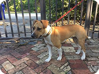 American Bulldog/Jack Russell Terrier Mix Dog for adoption in Homestead, Florida - SHEA