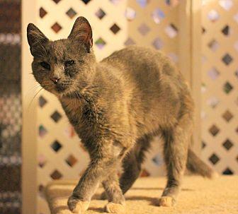 Domestic Shorthair Kitten for adoption in Carlisle, Pennsylvania - Willa