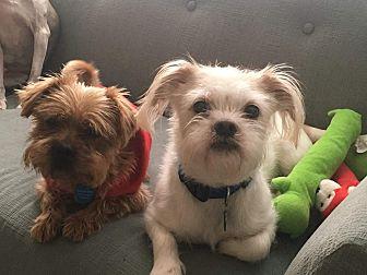 "Brussels Griffon/Shih Tzu Mix Dog for adoption in Seattle, Washington - ""Louie"""
