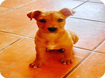 German Shepherd Dog Mix Puppy for adoption in San Diego, California - Cindy