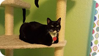 Domestic Shorthair Cat for adoption in Edmond, Oklahoma - Biggy-Shorty