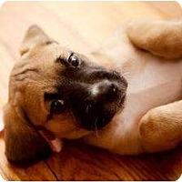 Adopt A Pet :: Willow - Rochester, NY