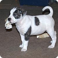 Adopt A Pet :: Abby - Minneola, FL