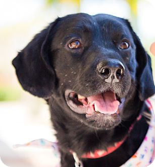 Labrador Retriever Dog for adoption in Phoenix, Arizona - Huey