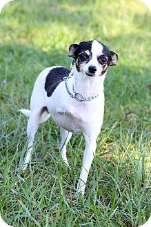 Chihuahua Mix Dog for adoption in Waldorf, Maryland - Moo Moo- Adoption Pending