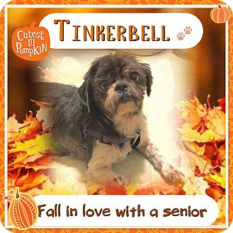 Shih Tzu Mix Dog for adoption in Sharon Center, Ohio - Tinker Bell