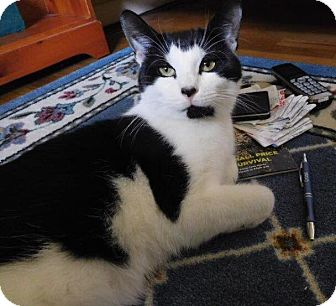 Domestic Shorthair Cat for adoption in Hartford, Connecticut - Oreo