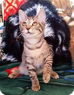 Domestic Shorthair Kitten for adoption in Palmdale, California - Paisley