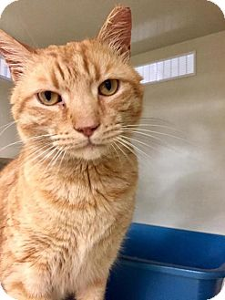 Domestic Shorthair Cat for adoption in Baltimore, Maryland - Nacho (At Petco!)